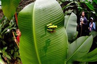 Close-up of a Red-Eyed Tree frog (Agalychnis callidryas) sitting on a banana leaf, Costa Rica Fine-Art Print