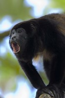 Close-up of a Black Howler Monkey (Alouatta caraya), Costa Rica Fine-Art Print