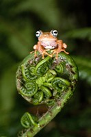 Close-up of a Blue-Eyed Tree frog on a fern frond, Andasibe-Mantadia National Park, Madagascar Fine-Art Print