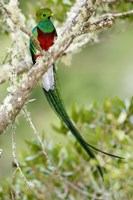 Close-up of Resplendent quetzal (Pharomachrus mocinno) perching on a branch, Savegre, Costa Rica Fine-Art Print