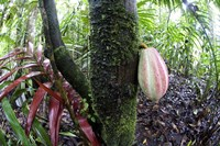 Cocoa tree in a rainforest, Costa Rica Fine-Art Print