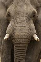 Close-up of an African elephant (Loxodonta africana) trunk, Lake Manyara, Tanzania Fine-Art Print