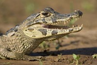 Yacare caiman (Caiman crocodilus yacare), Three Brothers River, Meeting of the Waters State Park, Pantanal Wetlands, Brazil Fine-Art Print