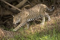 Jaguar (Panthera onca) foraging in a forest, Three Brothers River, Meeting of the Waters State Park, Pantanal Wetlands, Brazil Fine-Art Print
