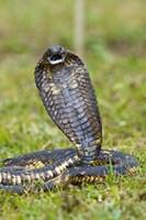 Close-up of an Egyptian cobra (Heloderma horridum) rearing up, Lake Victoria, Uganda Fine-Art Print