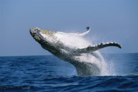 Humpback whale (Megaptera novaeangliae) breaching in the sea Fine-Art Print
