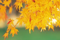 Yellow Maple Leaves, Autumn Fine-Art Print