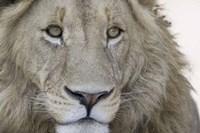Close-up of a male lion (Panthera leo), Tanzania Fine-Art Print