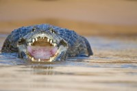 Yacare caiman in a river, Three Brothers River, Meeting of the Waters State Park, Pantanal Wetlands, Brazil Fine-Art Print