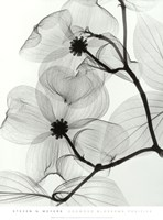 Dogwood Blossoms - Positive Fine-Art Print