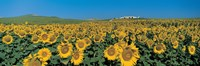 Sunflower field Andalucia Spain Fine-Art Print