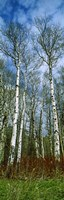 Birch trees in a forest, US Glacier National Park, Montana, USA Fine-Art Print