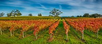 Autumn vineyard at Napa Valley, California, USA Fine-Art Print