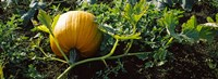 Pumpkin growing in a field, Half Moon Bay, California, USA Fine-Art Print