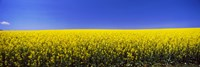Canola field in bloom, Idaho Fine-Art Print