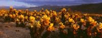 Cholla cactus at sunset, Joshua Tree National Park, California Fine-Art Print