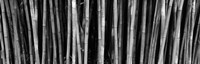 Bamboo trees in a botanical garden, Kanapaha Botanical Gardens, Gainesville, Alachua County, Florida (black and white) Fine-Art Print