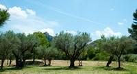 Olive trees in front of the ancient Monastere Saint-Paul-De-Mausole, St.-Remy-De-Provence, Provence-Alpes-Cote d'Azur, France Fine-Art Print