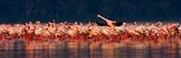 Lesser flamingos in a lake, Lake Nakuru, Lake Nakuru National Park, Kenya Fine-Art Print
