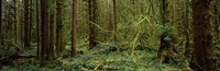 Trees in a forest, Hoh Rainforest, Olympic Peninsula, Washington State, USA Fine-Art Print