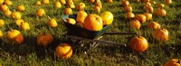 Wheelbarrow in Pumpkin Patch, Half Moon Bay, California, USA Fine-Art Print