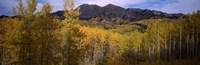 Trees in autumn, Colorado Fine-Art Print