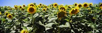 Sunflower field, California, USA Fine-Art Print