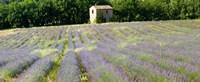 Barn in the lavender field, Luberon, Provence, France Fine-Art Print