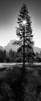 Sun Behind Pine Tree, Half Dome, Yosemite Valley, California, USA Fine-Art Print