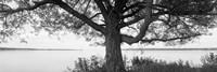 Tree on a Lake, Wisconsin (black & white) Fine-Art Print