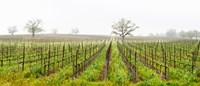 Oak trees in a vineyard, Guerneville Road, Sonoma Valley, Sonoma County, California, USA Fine-Art Print
