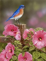 Bluebird With Hibiscus Fine-Art Print