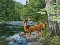 Streamside - White Tail Deer Fine-Art Print