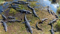 Alligators along the Anhinga Trail, Everglades National Park, Florida, USA Fine-Art Print
