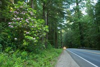 Redwood trees and Rhododendron flowers in a forest, U.S. Route 199, Del Norte County, California, USA Fine-Art Print