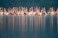 Flamingo Reflections in a lake, Lake Nakuru, Lake Nakuru National Park, Kenya Fine-Art Print