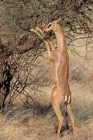 Male gerenuk (Litocranius waller) eating leaves, Samburu National Park, Rift Valley Province, Kenya Fine-Art Print