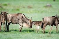 Wildebeest, Ndutu, Ngorongoro, Tanzania Fine-Art Print