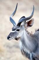 Greater Kudu (Tragelaphus strepsiceros) in a forest, Samburu National Park, Rift Valley Province, Kenya Fine-Art Print