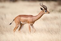 Male gerenuk (Litocranius walleri) standing in field, Samburu National Park, Rift Valley Province, Kenya Fine-Art Print