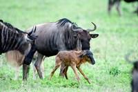 Newborn Wildebeest Calf with its Parents, Ndutu, Ngorongoro, Tanzania Fine-Art Print