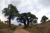 Baobab Trees (Adansonia digitata) in a forest, Tarangire National Park, Tanzania Fine-Art Print