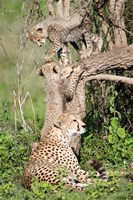 Cheetah cubs (Acinonyx jubatus) with their mother in a forest, Ndutu, Ngorongoro, Tanzania Fine-Art Print