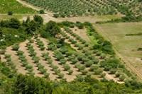 Olive trees in field, Les Baux-de-Provence, Bouches-Du-Rhone, Provence-Alpes-Cote d'Azur, France Fine-Art Print