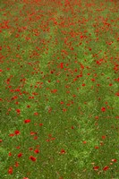 Poppy Field in Bloom, Les Gres, Sault, Vaucluse, Provence-Alpes-Cote d'Azur, France (vertical) Fine-Art Print