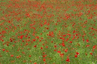 Poppy Field in Bloom, Les Gres, Sault, Vaucluse, Provence-Alpes-Cote d'Azur, France (horizontal) Fine-Art Print