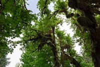 Low angle view of trees in a forest, Hoh Rainforest, Olympic National Park, Washington State, USA Fine-Art Print