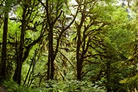 Trees in a Forest, Quinault Rainforest, Olympic National Park, Olympic Peninsula, Washington State Fine-Art Print