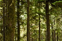 Trees in a forest, Queets Rainforest, Olympic National Park, Washington State, USA Fine-Art Print