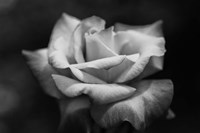 Close-up of a rose, Los Angeles County, California, USA Fine-Art Print